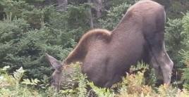 Moose Bent Down